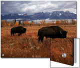 Buffalo Grazing in Grand Teton National Park