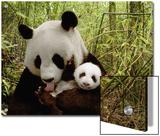 Giant Panda (Ailuropoda Melanoleuca) Gongzhu and Cub in Bamboo Forest