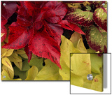 Coleus and Other Plants in a Window Box in Milwaukee