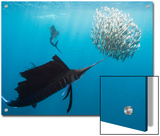 Atlantic Sailfish Attack and Surround a Baitball of Sardines