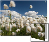 Cotton Grass Seed Heads Whip in the Wind  Paxon Alaska