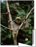 Three-Toed Sloth Nestles in the Crotch of a Young Tree  Costa Rica