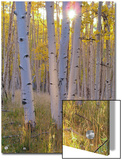 American Aspen Trees in Autumn Color