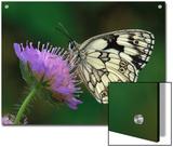 Marbled White (Melanargia Galathea) Butterfly on Flower  Switzerland