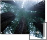 Coastal Fog Covers Redwood Treetops in the Lady Bird Johnson Grove