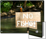 Adult Male Common Kingfisher  Alcedo Atthis  Holds a Topmouth Gudgeon