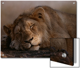 Asian Lion  Sleeping  Gir Forest  Gujarat State  India