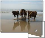 Wild Horses on the Beach in Assateague  Maryland