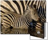 Burchell's Zebra (Equus Burchellii) Foal Standing Beside Mother in Waterhole  Africa