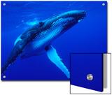 Humpback Whale (Megaptera Novaeangliae) Swimming  Underwater  Tonga