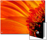 Close Up of a Orange Gerbera Daisy  Gerbera Species