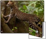 Ocelot (Felis Pardalis) Climbing on Buttress Root  Amazon Rainforest  Ecuador
