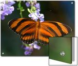 Orange Tiger Butterfly Nectaring on Blue Flowers  Westford  Massachusetts