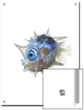 The larva of the slender mola is pea-size and big-eyed