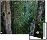 Botanists Take a Core Sample of a 350-Foot Giant Redwood Tree