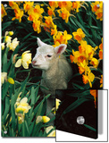 Domestic Sheep (Ovis Aries) Lamb Among Spring Daffodils (Narcissus Sp) Canterbury  New Zealand