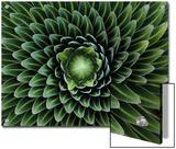 A Giant Lobelia Plant  Lobelia Telekii