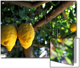 Lemons Hanging from a Lemon Tree for Sale as Local Produce on the Amalfi Coast in Ravello  Italy