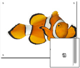 Acidified Water Impairs Clownfish Sense of Smell