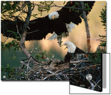 Bald Eagle (Haliaeetus Leucocephalus) Returning to Nest with Food for Chicks  Alaska