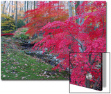 Japanese Maples with Colorful Fall Foliage in a Garden  New York