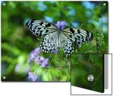 Rice Paper Butterfly  Idea Leuconoe  Drinks Nectar from Purple Flowers