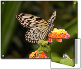 Tree Nymph Butterfly Drinks Nectar from Lantana Flowers  Idea Leuconoe