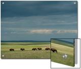 Wild American Bison Roam on a Ranch in South Dakota