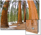 A Woman in Between Giant Sequoia Trees Gives Scale to their Size