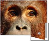 Orangutan (Pongo Pygmaeus) Close-Up  Borneo