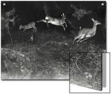 Deer Leap in Earliest Nighttime Flash Photography Shot