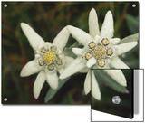 Close View of an Edelweiss Flower