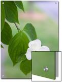 A Single White Dogwood Flower in the Virginia Highlands Neighborhood