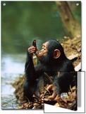 Chimpanzee (Pan Troglodytes) Young Using a Leaf to Drink  Gabon