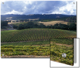 Grape Vines on Opolo Vineyards and Surrounding Oak Woodlands  California