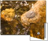 Quaking Aspen Leaf Lying on a Rock in a Stream in Yosemite