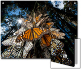 Millions of monarch butterflies travel to winter roosts in Mexico