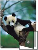 Giant Panda (Ailuropoda Melanoleuca) Endangered  One Year Old Cub in a Tree