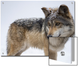 A Mexican Gray Wolf  Canis Lupus Baileyi