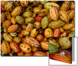 Cocoa Bean Pods of Varying Shades of Yellow  Green  and Red