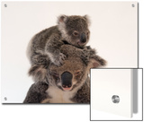 A Federally Threatened Koala Climbs on Top of its Mother  Who Has Conjunctivitis