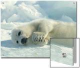 Harp Seal Pup Lies on Its Side on the Ice