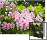 Pink Rhododendron Flowers in Piedmont Park  Atlanta