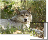 Gray Wolf in Montana