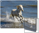 Camargue Horse (Equus Caballus) Running in Water at Beach  Camargue  France
