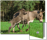 Donkey (Equus Asinus) Adult with Foal  Bavaria  Germany
