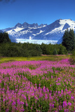 Scenic View of Mendenhall Glacier and Fireweed in the Foreground  Juneau  Alaska