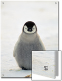 Emperor Penguin (Aptenodytes Forsteri) Chick  Antarctica