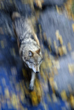 Overhead View of a Wolf Running with Motion Blur During Autumn in Alberta  Canada