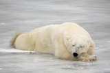 Polar Bear Asleep on Sea Ice at Churchill  Manitoba  Canada